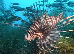 Lionfish are invading Florida's waterways.