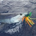 Shortfin Mako Caught for Tagging LR