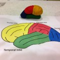 Play Dough model showing the 4 lobes of the brain