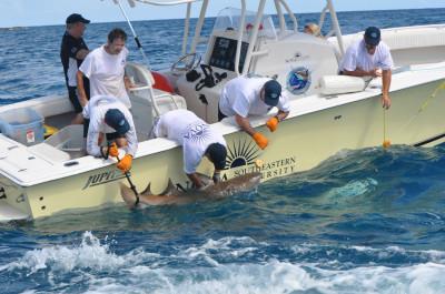 NSU Researchers Tag, then release, a nurse shark