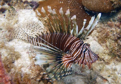 Nova Southeastern University Research Shows  Hurricanes Help Spread Lionfish
