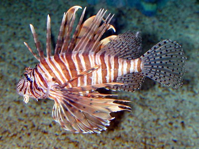 Spread of Lionfish in Gulf of Mexico is Threat to Reef Fisheries