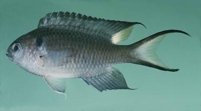 John E. Randall, Ph.D., Hawaii Biological Survey- damselfish photo