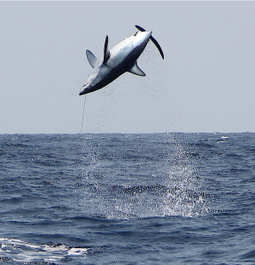 A shortfin mako shark leaps into the air while attached to a fishing line. The shark was tagged with a satellite tracking device and released.