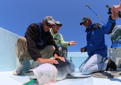 The Guy Harvey Research Institute (GHRI) team attaches a satellite tag to the fin of a shortfin mako shark.