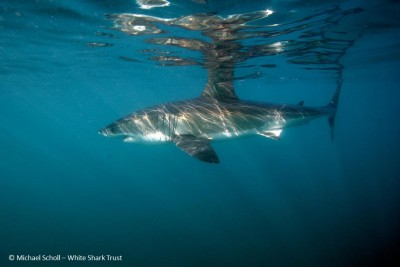 White Shark S. Africa -MScholl - White Shark Trust