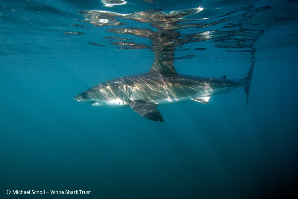 shark research papers Shark research: emerging  dr simpfendorfer is an author on over 200 peer-reviewed scientific papers on sharks and rays, and has trained more than 30 msc and phd.