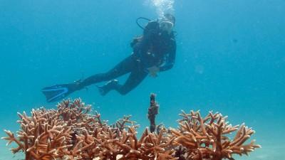 NSU's Liza Larson surveys a nursery block in NSU's nursery offshore of Dan.