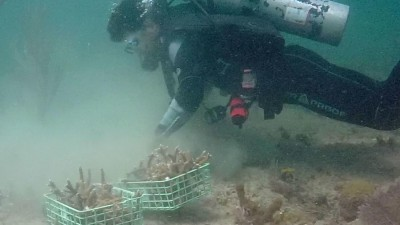 NSU diver prepares to attach staghorn coral fragment to the reef.