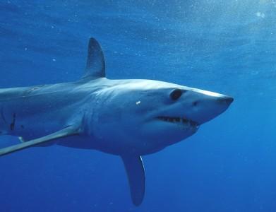 Mako Shark (credit: George Schellenger, GHOF)