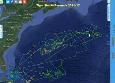 GHRI-Andy-Tiger-Shark-Track-8-31-17-400x289