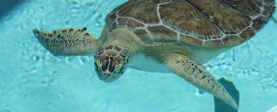 banner-captain-sea-turtle-MEEC