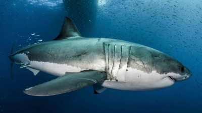 White shark_2b_Byron_Dilkes_Photo