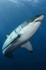 White shark_6b_Byron_Dilkes_Photo - CLOSE UP